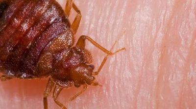 CHINCHES, control de la plaga y medidas preventivas